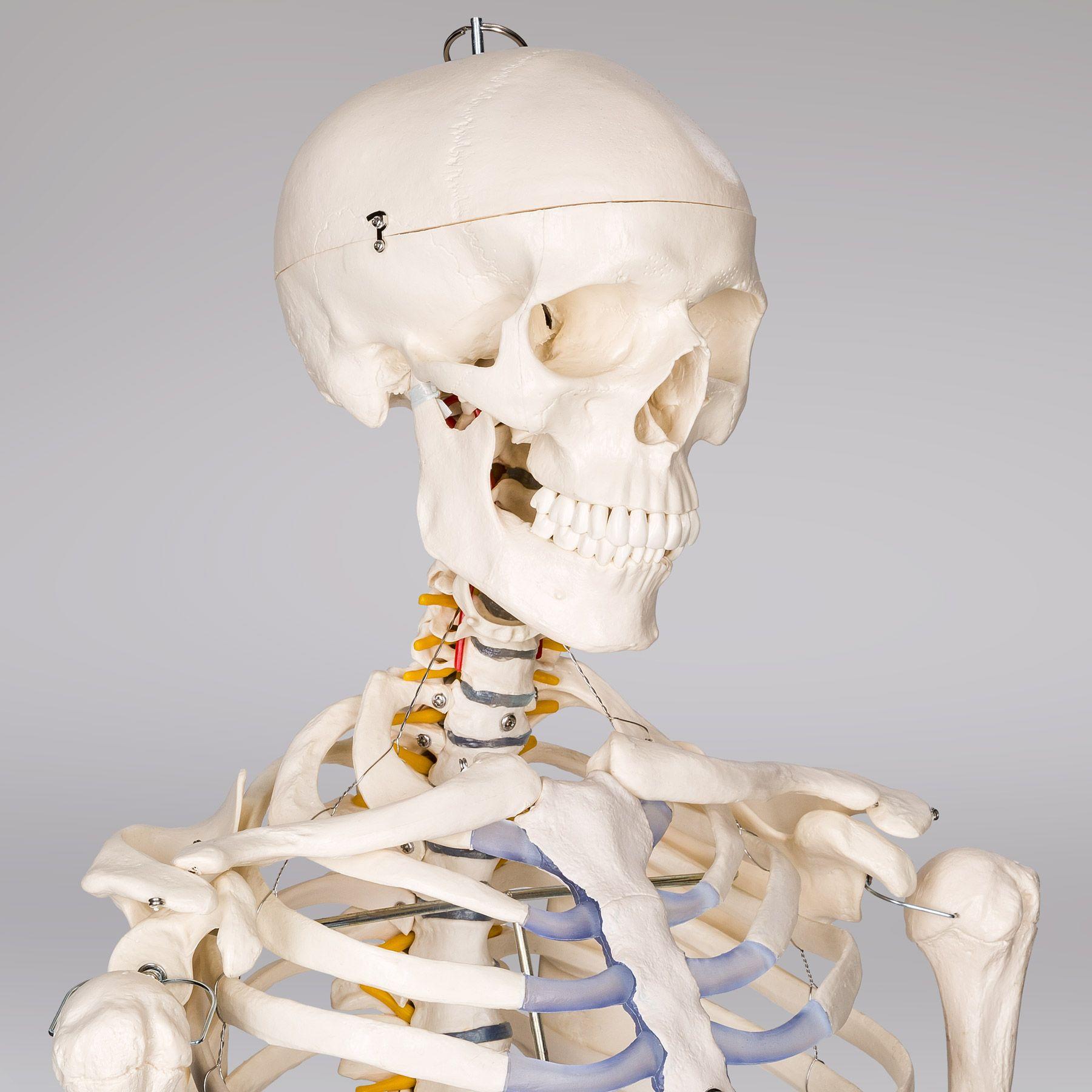 Menschliches Stativ Skelett Modell Anatomie Lehrmodell + Abdeckung + ...