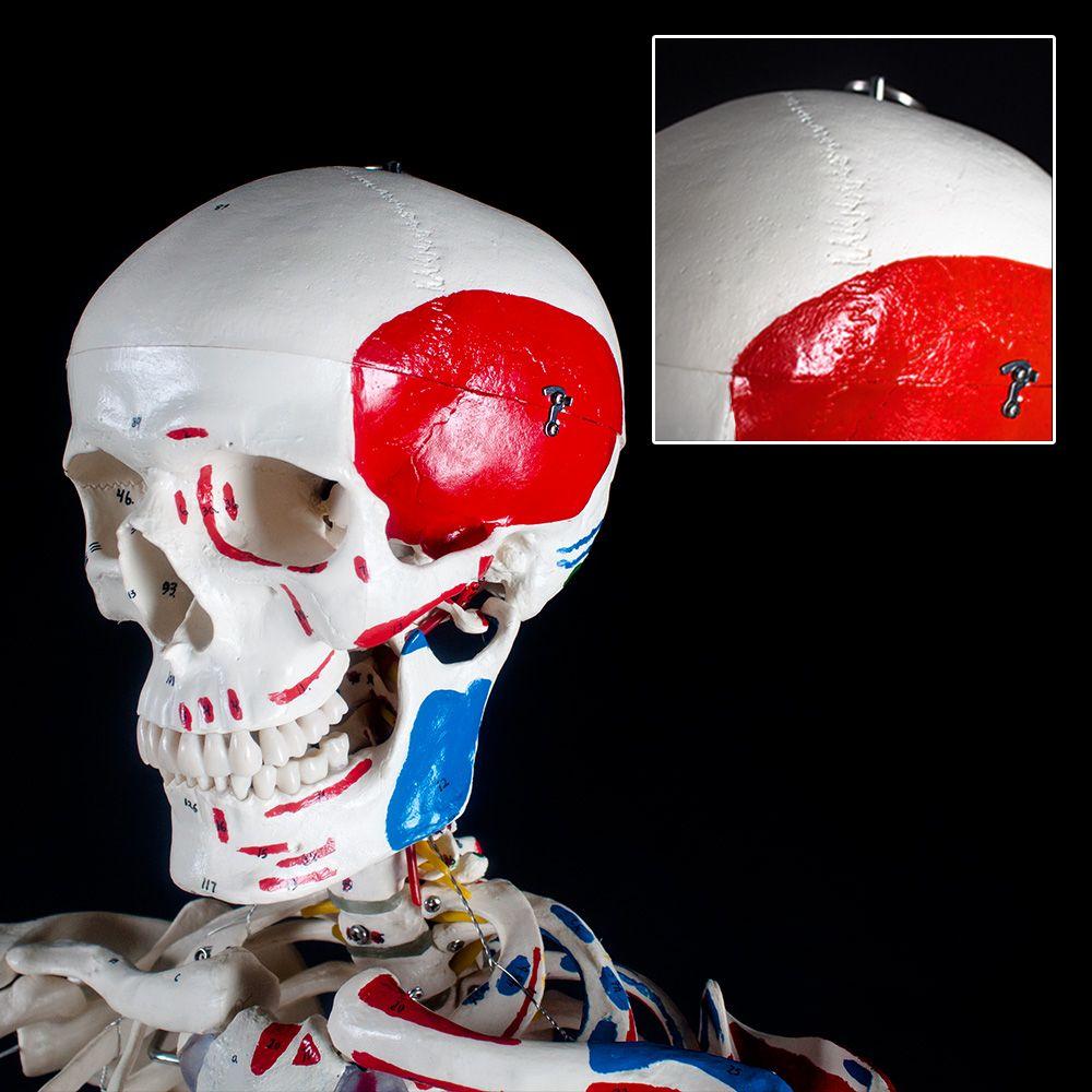 Menschliches Skelett Anatomie Lehrmodell +Muskel+Knochen Bemalung ...