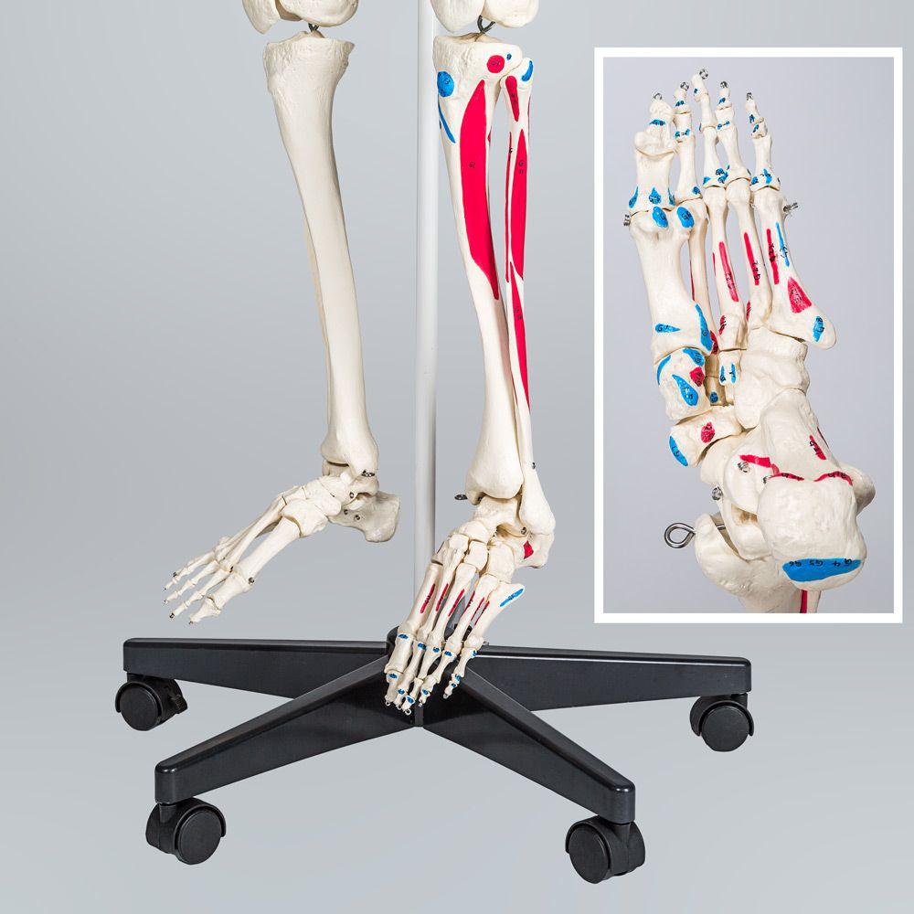 Menschliches Skelett Anatomie Modell Lehrmodell + Stativ Mensch + ...